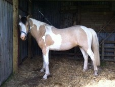 Stunning Lemon And White Gelding
