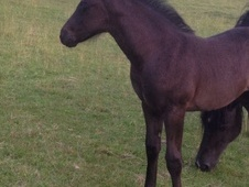 Totally Black Shire X Sports Filly