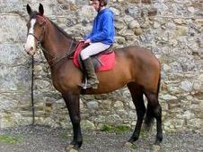 All Rounder horse - 5 yrs 15.3 hh  - Laois