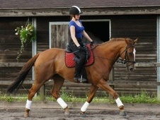 All Rounder horse - 10 yrs 4 mths 16.1 hh Chestnut - Gloucestershire
