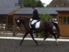All Rounder horse - 7 yrs 16.0 hh Bay - Cheshire