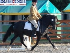 Eskvalley Olympian, 13. 1h, Welsh Section C, 9 years, Gelding - G...