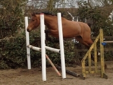 Super Youngster Great Prospect Showjumper/Eventer