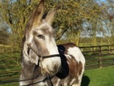 Marble currently 15. 2HH - to make 16HH. Mammoth jackstock donkey...