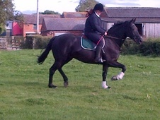 Potential young sports horses horse - 5 yrs 1 mth 16.0 hh Black -...