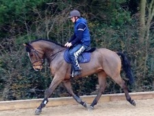 Rupert 16 hands 6 years old Irish Draught X gelding