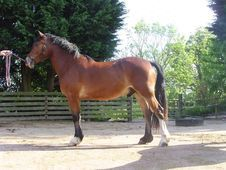 Handsome 15h Welsh Section D Gelding