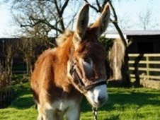 Louis Currently 14. 1hh To Make 15. 2/16hh. Reg Mammoth Jackstock...