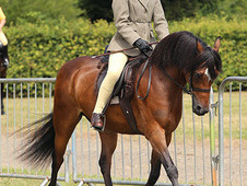Welsh section b, gelding, 130cm, second pony