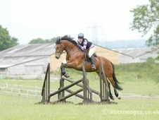 All Rounder horse - 7 yrs 6 mths 15.2 hh Bright Bay - West Sussex