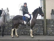 All Rounder horse - 5 yrs 15.2 hh  - Laois