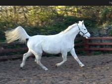 Lovely Arab Mare