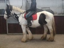 All Rounder horse - 7 yrs 15.1 hh  - Laois