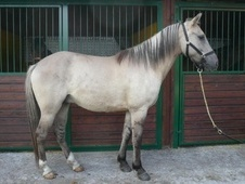 All Rounder horse - 8 yrs 1 mth 15.3 hh Dun - Suffolk