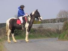 All Rounder horse - 6 yrs 15.1 hh  - Laois