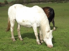 SPOTTED MARE (now white)