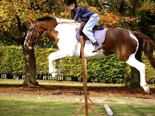 **price Reduced** Showstopper 15. 3hh Coloured Bargain