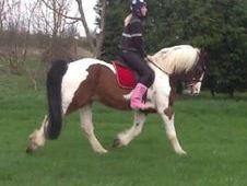 All Rounder horse - 8 yrs 0.0 hh  - South Humberside
