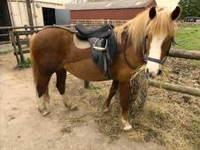 Riding School Pony For Sale