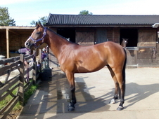 Beautiful 14. 3hh Arab Cross, Mare, Suffolk