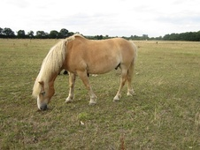 Haflinger for Full or Part Loan, Perm or Temp Summer Loan - Kent
