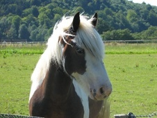 Cobs horse - 7 yrs 13.3 hh Skewbald - Hampshire