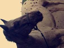 15. 1hh Registered Appaloosa gelding
