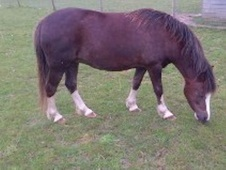 Mountain & Moorland horse - 9 yrs 11 mths 11.2 hh Liver Chestnut ...