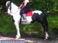 Cariads Dream, 14. 2h, Part breed, 5 years, Mare, Lancashire