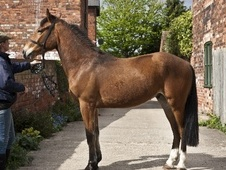 Young Stock  horse - 3 yrs 15.2 hh Bright Bay - North Humberside