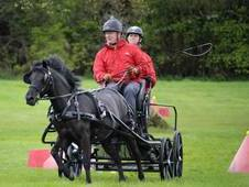 Pure Bred Dartmoor Driving Pony