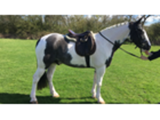 'TOMBOY'-14.2 SUPER ALL ROUND PONY