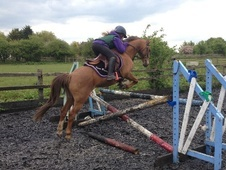 Pony Club Ponies horse - 12 yrs 3 mths 12.3 hh Chestnut - Somerset
