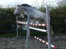All Rounder horse - 3 yrs 3 mths 15.3 hh Grey - Suffolk