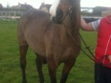 All Rounder horse - 14 yrs 16.2 hh Bay - Kent