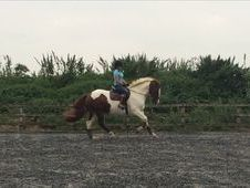 Gorgeous 16hh All Rounder Gelding