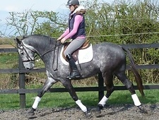 All Rounder horse - 6 yrs 2 mths 16.1 hh Grey - Suffolk