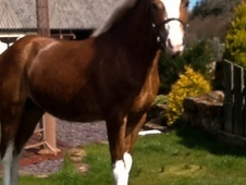 Young Stock  horse - 2 yrs 12.0 hh Chestnut - Ayrshire