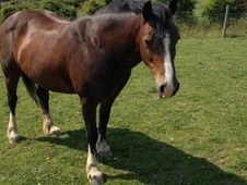14hh Welsh Cobb Cross