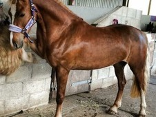 Absolutely stunning Chestnut Flaxen Welsh Section D FAB paces