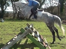 Eventers horse - 8 yrs 11 mths 16.1 hh Grey - Dorset