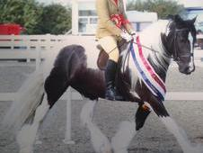 Top Quality Traditional 5yr Gelding For Sale!