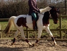 Smart 14. 2, 5 Year old, skewbald Gelding
