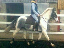 All Rounder horse - 5 yrs 14.2 hh Coloured - Shropshire