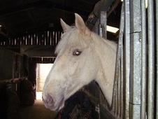 Young Stock  horse - 2 yrs 1 mth 16.2 hh Palomino - Cheshire