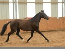 All Rounder horse - 3 yrs 2 mths 16.0 hh Black - Surrey