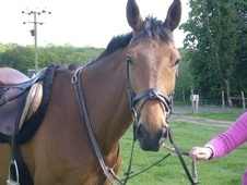 All Rounder horse - 7 yrs 16.2 hh Bay - Kent