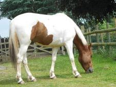 15. 1hh Coloured Gelding Youngster
