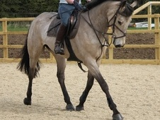 All Rounder horse - 8 yrs 16.0 hh Dun - Nottinghamshire