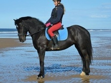 *Perfect allrounder/pleasure horse* who is safe sane and sensible